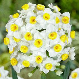 Avalanche Daffodil