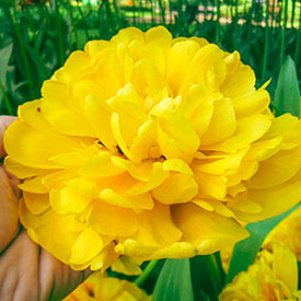 Yellow Majesty™ Tulip