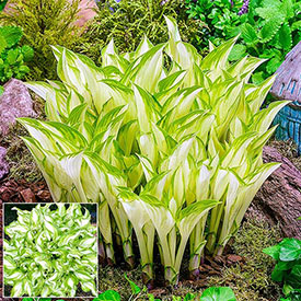Kiwi Spearmint Hosta