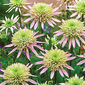 Cherry Fluff Coneflower