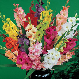 Deluxe Dutch Glads Mixture