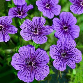 Daily Purple Hardy Geranium