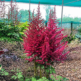 Strawberry Cake Astilbe