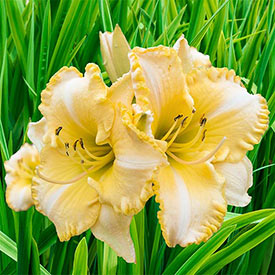 Total Look Reblooming Daylily