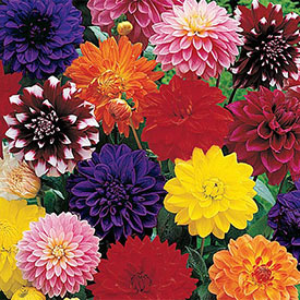Decorative Dahlia Mixture Super Sak®