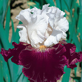 Twist of Sheree Tall Bearded Iris