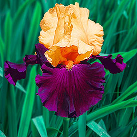 Idol Tall Bearded Iris