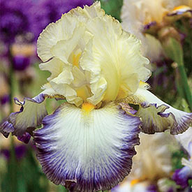 Moon at Midnight Tall Bearded Iris