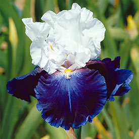 Captain's Choice Tall Bearded Iris