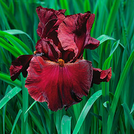 Red Masterpiece Tall Bearded Iris