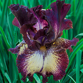 Out Walkin' Tall Bearded Iris