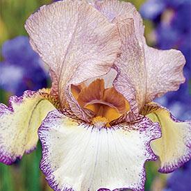 Las Vegas Reblooming Bearded Iris