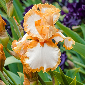 My Oh My Bearded Iris