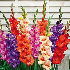 Glamini® Gladiolus Collection