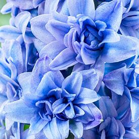 Blue Tango Double Hyacinth