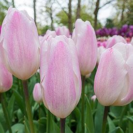 Sweet Flag Tulip