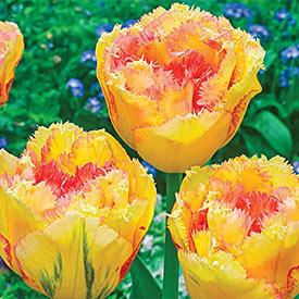 Vaya Con Dios Tulip