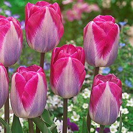 Showgirl Tulip