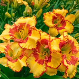 Irresistible Charm Reblooming Daylily