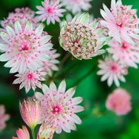 Sparkling Stars Pink Astrantia