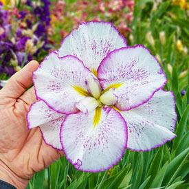 Tiramisu Dinner Plate™ Japanese Iris
