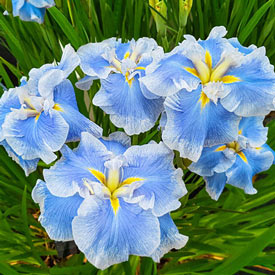 Ice Cream Dinner Plate™  Japanese Iris