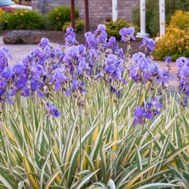 Pallida Variegata Gold Iris
