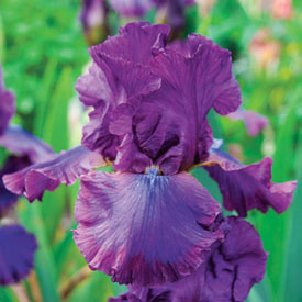 Cantina Reblooming Bearded Iris