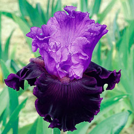 Dangerous Liason Bearded Iris