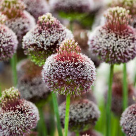 Forelock Allium