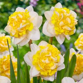 Doctor Witteveen Daffodil