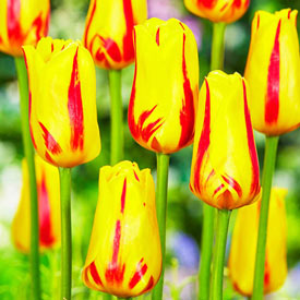 Freedom Flame Tulip