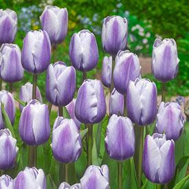 Lilac Love Tulip
