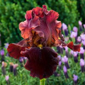 Bernice's Legacy Reblooming Bearded Iris