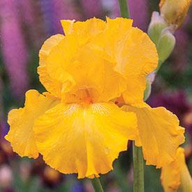 Pure As Gold Reblooming Bearded Iris
