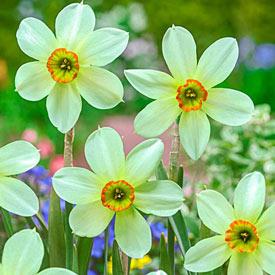 Emerald Kiss™ Daffodil