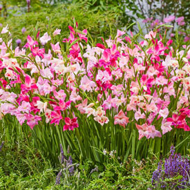 Cherry Blossom Hardy Gladiolus Mixture