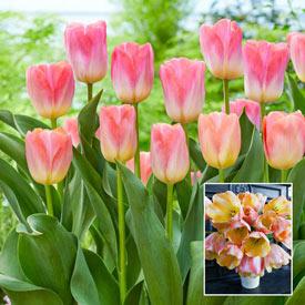 Cool Pink Lemonade Tulip