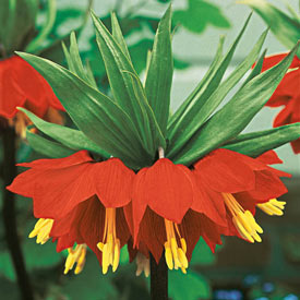 Rubra Maxima Crown Imperial