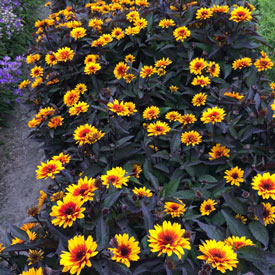 Funky Spinner False Sunflower