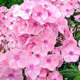 Diamond Soft Pink Phlox