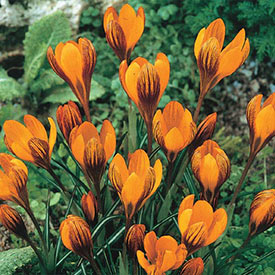 Orange Monarch Snow Crocus