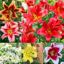 Great Expectations Lily Tree® Collection