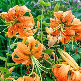 Henryi Turk's Cap Lily