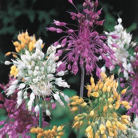 Sparkler Allium Mixture