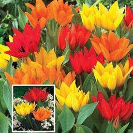 Firespray™ Tulip Mixture