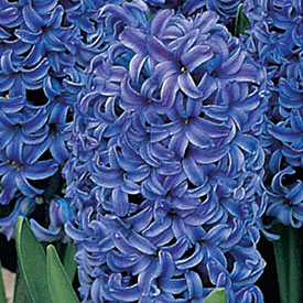 Blue Jacket Fragrant Giant Hyacinth