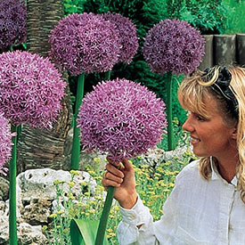 Beau Regard Allium