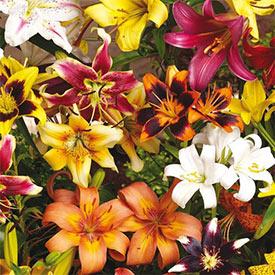 All-Season Lily Mixture