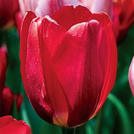 Life's a Cabernet Tulip